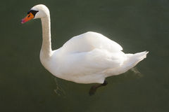 Closeup side view portrait of a mute swan cygnus olor Stock Photography
