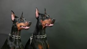 Closeup side view of two black and brown dobermans sitting still on isolated dark background stock footage