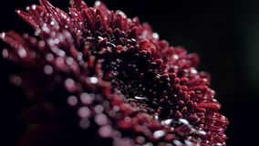Closeup side view water drop falls down on dark red flower. Closeup side view clear water drop falls down on beautiful dark red flower against black background stock footage