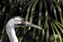 Closeup Side view of a young adult Whooping Crane Royalty Free Stock Photo