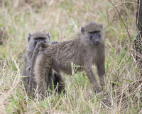 Closeup sideview of adult baboon with a second baboon behind grooming bottom Royalty Free Stock Image