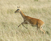 Closeup sideview adult Grant`s Gazelle running through grass Royalty Free Stock Photo