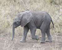 Closeup sideview of a baby elephant walking on dirt path Stock Images