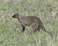 Closeup sideview of a banded mongoose standing in grass. In the Masai Mara National Reserve, Kenya Stock Images