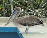 Closeup sideview of a brown pelican standing on a wall Stock Photos