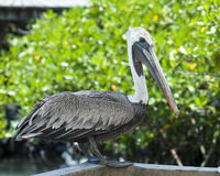 Closeup sideview of a brown pelican standing on a wall royalty free stock image