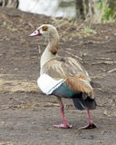 Closeup sideview of Egyptian Goose walking in dirt Stock Photos
