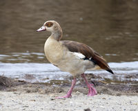 Closeup sideview of Egyptian Goose walking in dirt Royalty Free Stock Photography