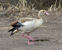 Closeup sideview of Egyptian Goose walking in dirt Stock Images