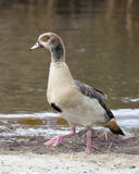 Closeup sideview of Egyptian Goose walking in dirt Stock Photography