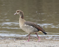 Closeup sideview of Egyptian Goose walking in dirt Stock Image