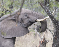 Closeup sideview of an elephant with tusks feeding on a tree Royalty Free Stock Image