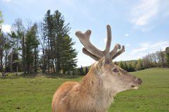 Elk with new Antlers Royalty Free Stock Photography