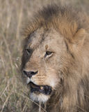 Closeup sideview face of large male lion Royalty Free Stock Photo