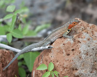 Closeup sideview of a female lava lizard on a rock Stock Photography