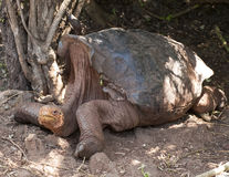 Closeup sideview of giant Galapagos Tortoise resting on the ground Stock Photography
