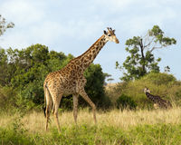 Closeup sideview of a giraffe walking in grass with another giraffe in the background Royalty Free Stock Images