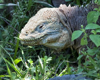 Closeup sideview of the head of a land iguana in green vegetation Royalty Free Stock Photography