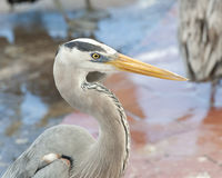 Closeup sideview of the head and neck of a blue heron Royalty Free Stock Images