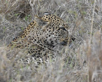 Closeup sideview of the head of a single adult Leopard sitting in grass looking forward Royalty Free Stock Photo