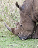 Closeup sideview of the head of a White Rhino standing eating grass Royalty Free Stock Photo