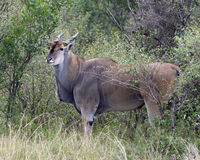 Closeup sideview of a large Eland standing in bushes and grass looking directly at you. In the Masai Mara National Reserve, Kenya Stock Image