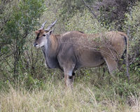 Closeup sideview of a large Eland standing in bushes and grass looking directly at you. In the Masai Mara National Reserve, Kenya Royalty Free Stock Photography