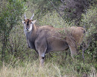 Closeup sideview of a large Eland standing in bushes and grass looking directly at you. In the Masai Mara National Reserve, Kenya Royalty Free Stock Image