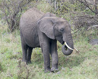 Closeup sideview of a large elephant with tusks eating grass Royalty Free Stock Photos