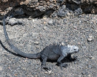 Closeup sideview of a marine iguana walking Stock Photography