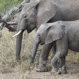 Closeup sideview of a mother and young elephant walking Stock Image