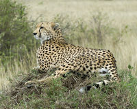 Closeup sideview of one adult cheetah resting on top of a grass covered mound looking forward Stock Image