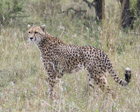Closeup sideview of one adult cheetah standing in tall grass. In the Masai Mara National Reserve, Kenya Stock Image