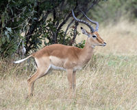 Closeup sideview of one male impala with large antlers standing in grass with head raised Stock Images