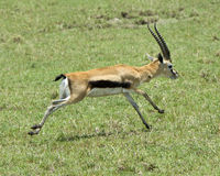 Closeup sideview of one male Thompson Gazelle with antlers running in short green grass Stock Photography