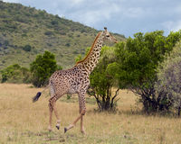 Closeup sideview of one Masai giraffe running through short grass Stock Images