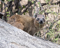 Closeup sideview of Rock Hyrax looking directly at you on a grey rock. In the Serengeti National Park, Tanzania Royalty Free Stock Photo