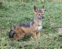 Closeup sideview of a single black-backed jackal cub standing in green grass looking alertly forward Stock Images