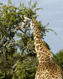 Closeup sideview of single giraffe standing with a tree in the background Stock Photo