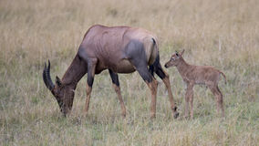 Closeup sideview of a single Topi calf behind mother standing in grass Royalty Free Stock Images