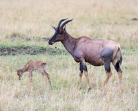 Closeup sideview of a single Topi calf in front of mother standing in grass Stock Photo