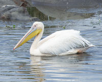 Closeup sideview of a single white pelicans swimming in a water hole with one partially submerged hippo in the background Stock Image