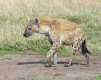 Closeup sideview of spotted hyena walking a dirt path looking forward Royalty Free Stock Image