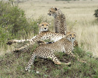 Closeup sideview of two adult and one young cheetah resting on top of grass covered mound Stock Photo