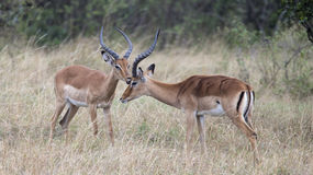 Closeup sideview two male impala with large antlers with heads close together. Standing in grass in the Masai Mara National Reserve, Kenya Stock Photography