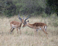 Closeup sideview two male impala with large antlers with heads close together Stock Photo