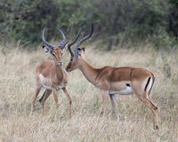 Closeup sideview two male impala with large antlers with heads close together. Standing in grass in the Masai Mara National Reserve, Kenya Stock Image
