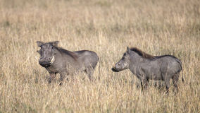 Closeup sideview of two warthogs standing in tall grass Royalty Free Stock Photos