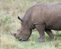 Closeup sideview of a White Rhino standing eating grass Royalty Free Stock Photo