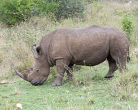 Closeup sideview of a White Rhino standing eating grass Stock Photos